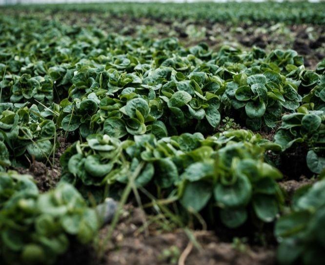 Des végétaux dans une serre agricole