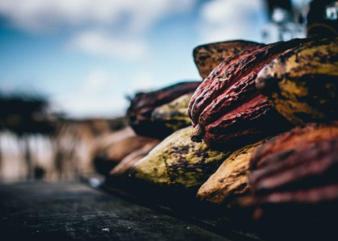 Des fèves de cacao dans une exploitation au Brésil.