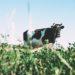 Vache paissant dans le pré.